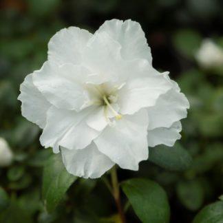 AZALEA WHITE INGA