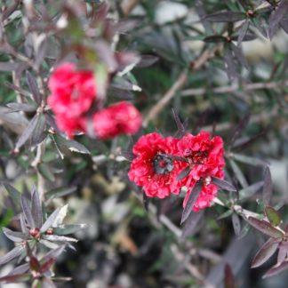 Leptospermum Crimson Glory