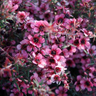 Leptospermum Huia