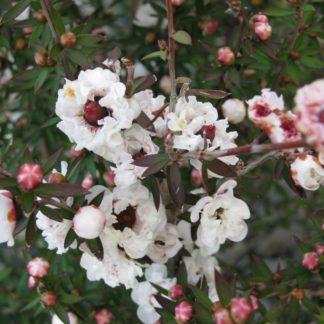 Leptospermum Princess Anne