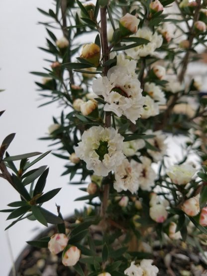 Leptospermum Wiri Linda