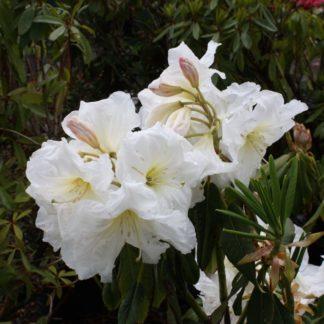 Rhododendron Alabaster
