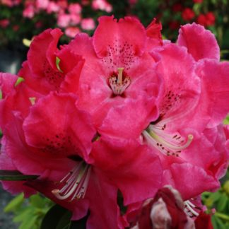 Rhododendron Arnold Piper