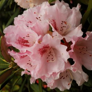 Rhododendron Barmstedt