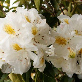 Rhododendron Belle Heller