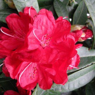 Rhododendron Bibiani