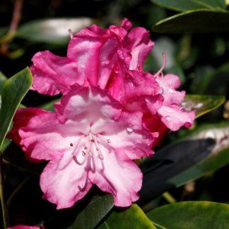 Rhododendron Bluerettia