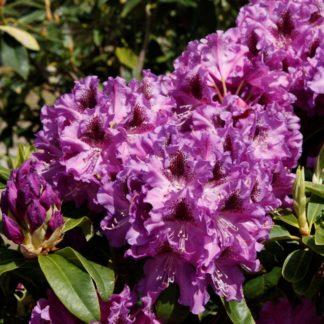 Rhododendron Blue Boy