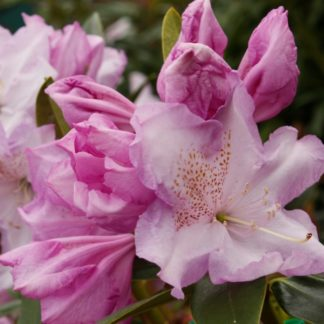 Rhododendron Blue River