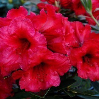 Rhododendron Britton Hill Bugle
