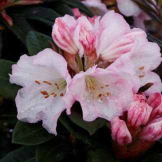 Rhododendron Bronze Wings