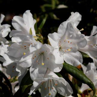 Rhododendron Dora Amateis