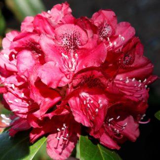 Rhododendron Mrs Jamie Fraser