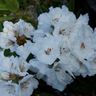 Rhododendron Mt Everest