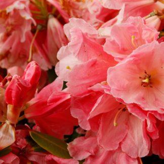 Rhododendron Mt Loma Prieta