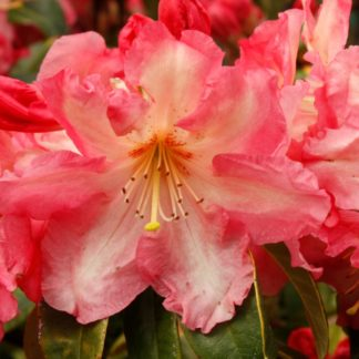 Rhododendron Nasselle