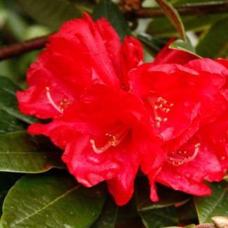Rhododendron Noyo Chief