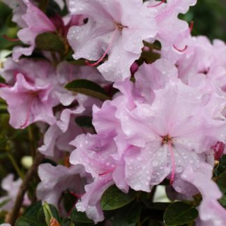Rhododendron Spring Dance