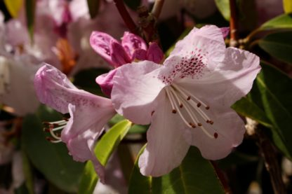 Rhododendron Susan