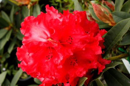 Rhododendron Taurus