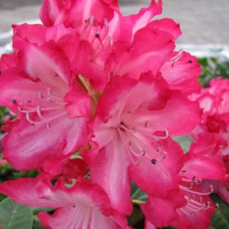 Rhododendron The President