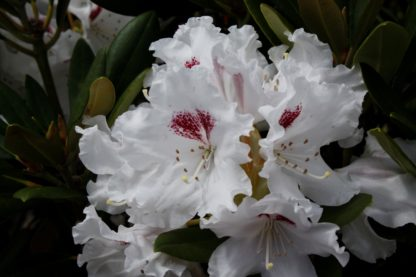 Rhododendron Tiana