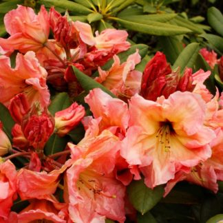 Rhododendron Twice As Nice