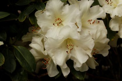 Rhododendron Unique