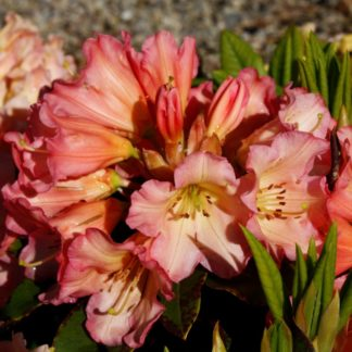 Rhododendron Unique Marmalade