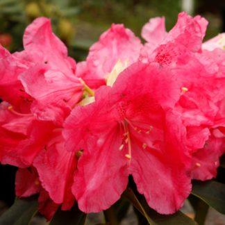 Rhododendron Unknown Warrior