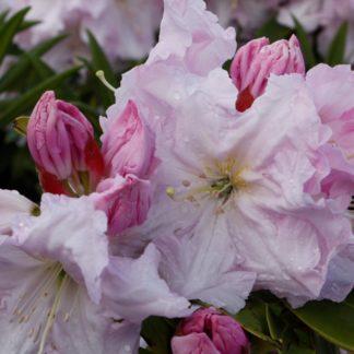 Rhododendron Van Dec