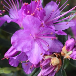 Rhododendron Vibrant Violet