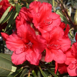 Rhododendron Vulcans Flame