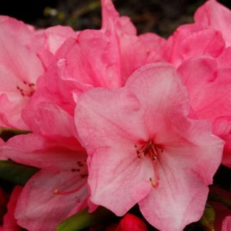 Rhododendron Wee Willy Winky