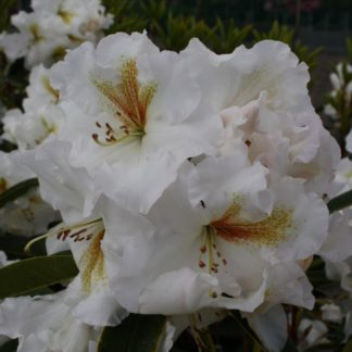 Rhododendron White Gold