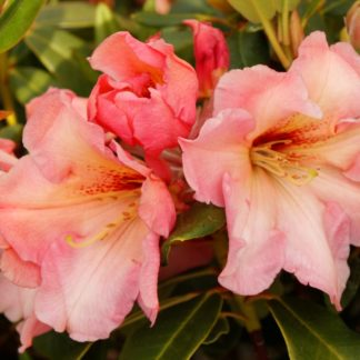 Rhododendron Wind Song