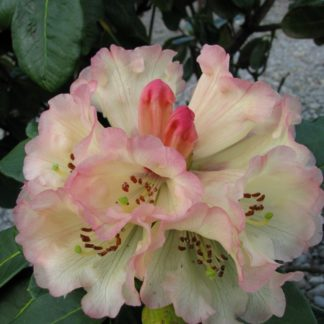 Rhododendron Yellow Moon
