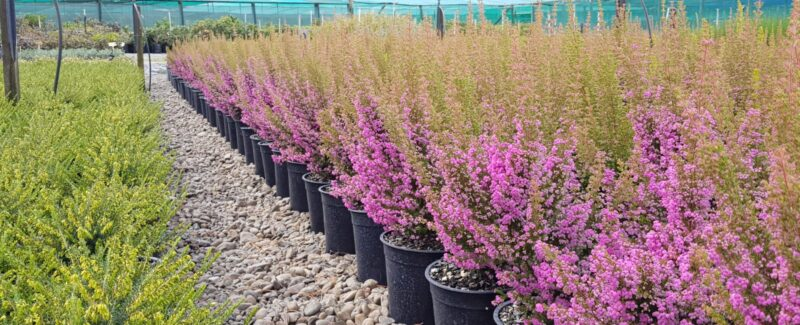 Kilmarnock Nurseries Located In The Village Of Ashhurst Manawatu Operates As A Whole Only Plant Nursery Specialising Quality Container Grown Ornamental Shrubs